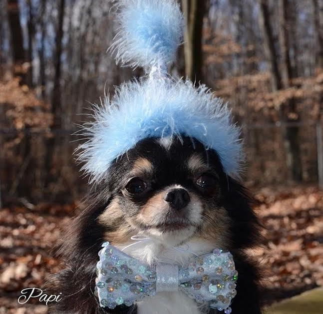 Papi%2C+an+Instagram-famous+chihuahua+is+owned+by+senior+Ella+Howe
